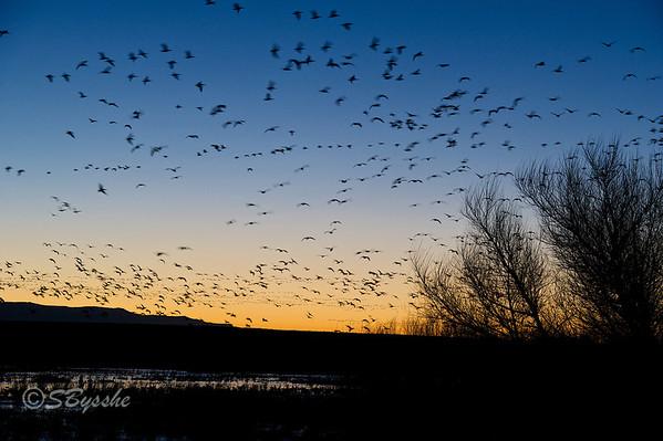 Dawn, Snow Geese arriving.