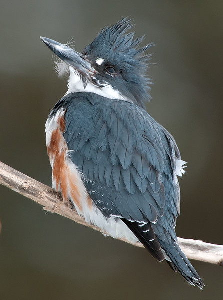 Bad Hair Day Belted Kingfisher, Erie County January 2011, open water @ Castalia Pond
