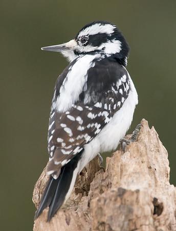Hairy Woodpecker (female), Wood County