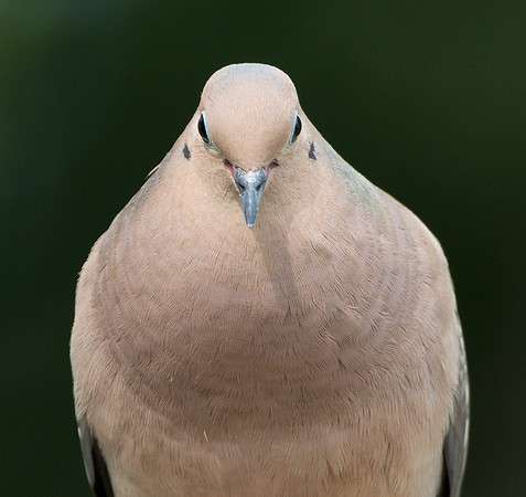 Mourning Dove, Wood County