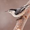Nuthatch in Winter