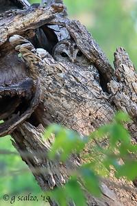 Barred Owl Nesting