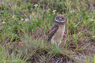 Curious Burrowing Owlet