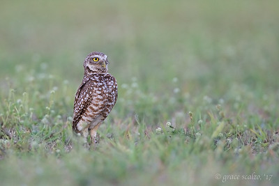 Burrowing Owl in clover field