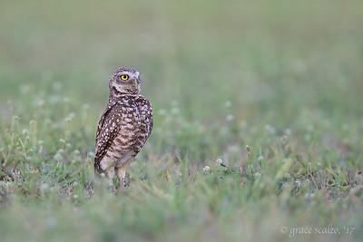Burrowing Owl in clover field