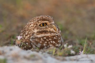 Burrowing Owl Portrait