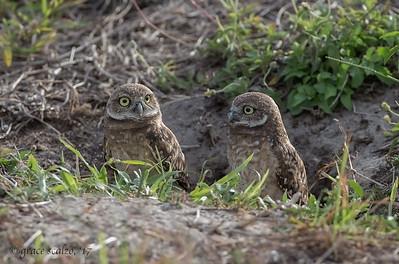 Burrowing Owl juveniles in their burrow