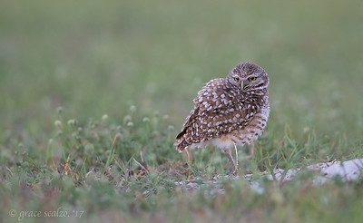 Burrowing Owl fluffing