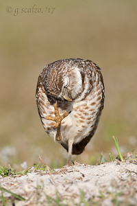 Burrowing Owl getting sand out of his head feathers