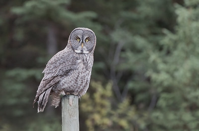 Great Gray Owl on Fence Post