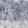 Short-eared owl blur