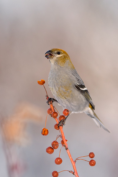Female Pine Grosbeak<br /> Burlington, Ontario