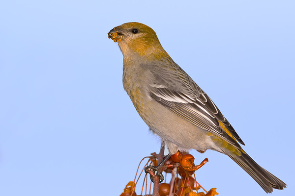 Female Pine Grosbeak<br /> Burlington, Ontario