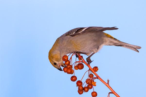 Female Pine Grosbeak Feeding<br /> Burlington, Ontario