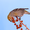 Female Pine Grosbeak Feeding<br /> Burlington, Ontario