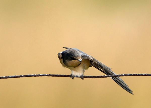 Barn Swallow<br /> Carden Alvar, Kirkfield, Ontario
