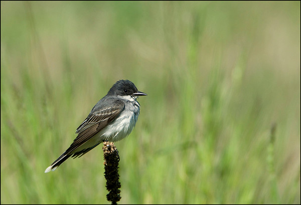 Eastern Kingbird 1<br /> Pt. Pelee National Park
