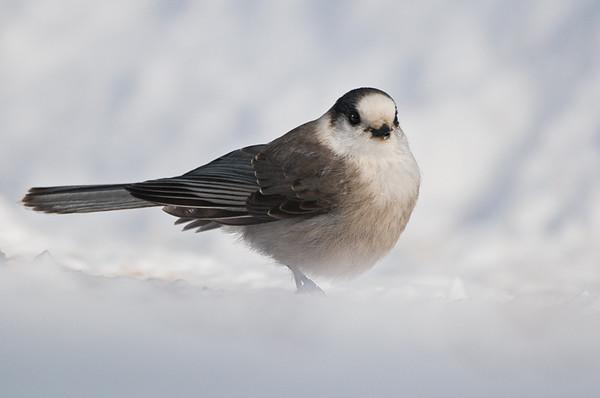 Grey Jay<br /> Algonquin Provincial Park