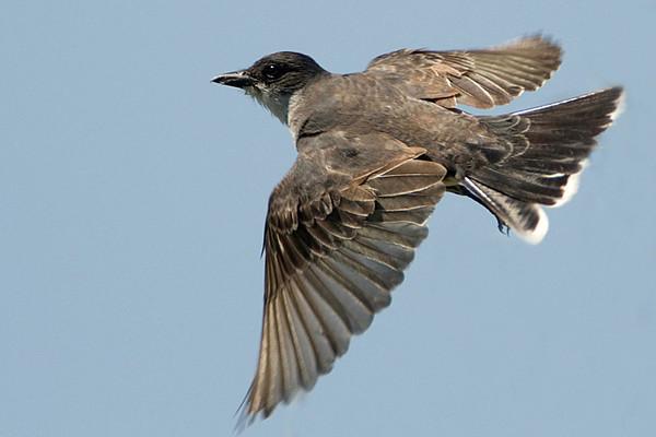 Eastern Kingbird in Flight<br /> The Calden Avar, Ontario