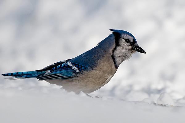 Blue Jay<br /> Algonquin Provincial Park