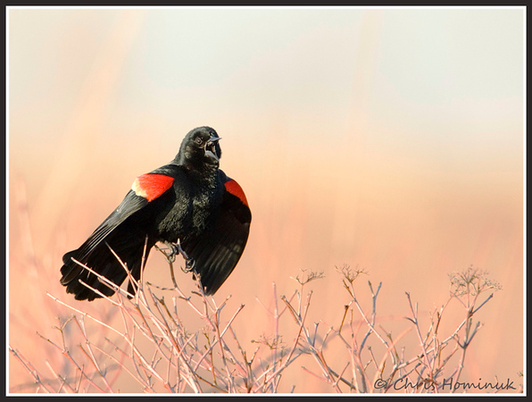 Red-Winged Blackbird<br /> Col. Samuel Park, Toronto