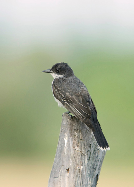 Eastern Kingbird 4<br /> Carden Alvar, Kirkfield, Ontario