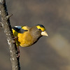 Evening Grosbeak<br /> Algonquin Provincial Park