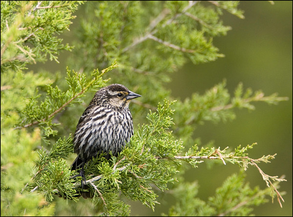 Female Red Winged Blackbird<br /> Pt. Pelee National Park