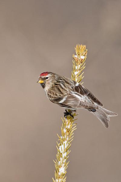 Common Redpoll<br /> Kanata, Ontario