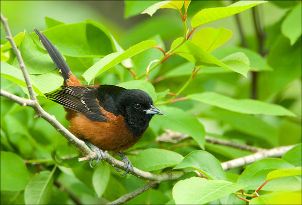 Orchard Oriole 1<br /> Pt. Pelee National Park