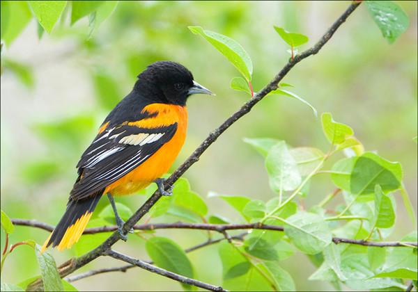 Baltimore Oriole<br /> Pt. Pelee National Park