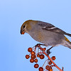 Pine Grosbeak Female<br /> Burlington, Ontario
