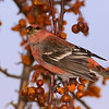 Male Pine Grosbeak<br /> Burlington, Ontario