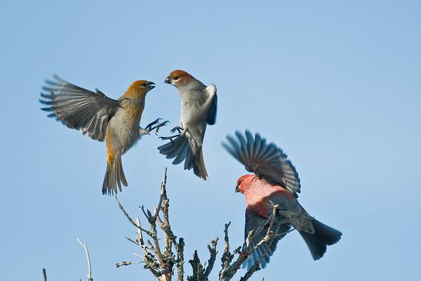 Pine Grosbeaks<br /> Algonquin Provincial Park