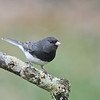 Junco; 500mm 1/250 f/5.6 ISO 2500