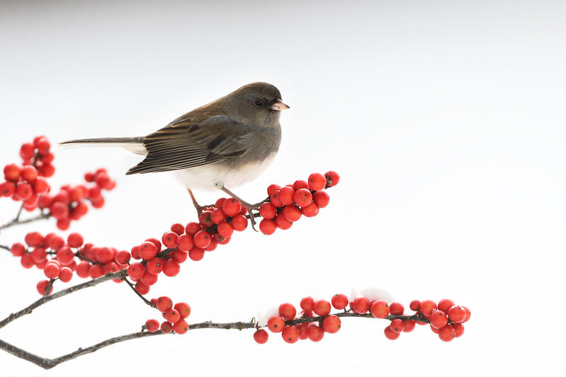 Junco on berries; 500mm 1/1250 ISO 1000 f/6.3