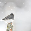 Junco in falling snow; 440mm 1/125 ISO 5000 f/5.6