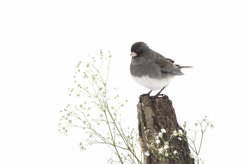 Junco; 500mm 1/1000 ISO 1000 f/6.3