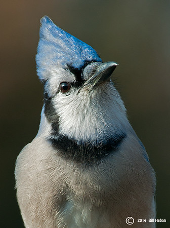 Blue Jay, Wood County OH