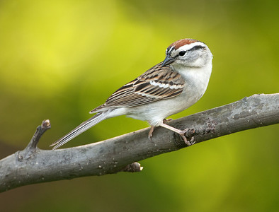 Chipping Sparrow, Wood County