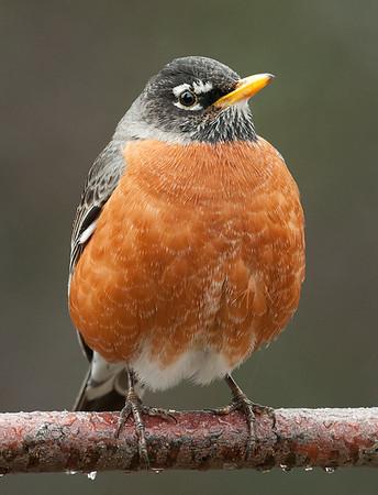 American Robin, Wood County