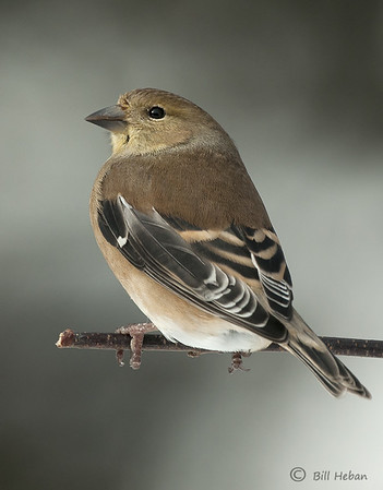 American Goldfinch (winter), Wood County