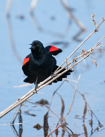 Red-Winged Blackbird (male territorial display), Magee Marsh Wildlife Area