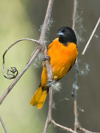 """Baltimore"" Northern Oriole with Cottonwood seeds, Magee Marsh Wildlife Area"