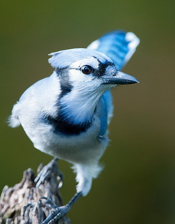 Blue Jay, Wood County