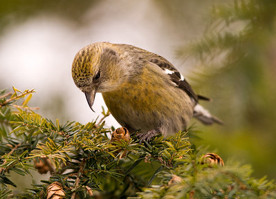 White-winged Crossbill, Wood County