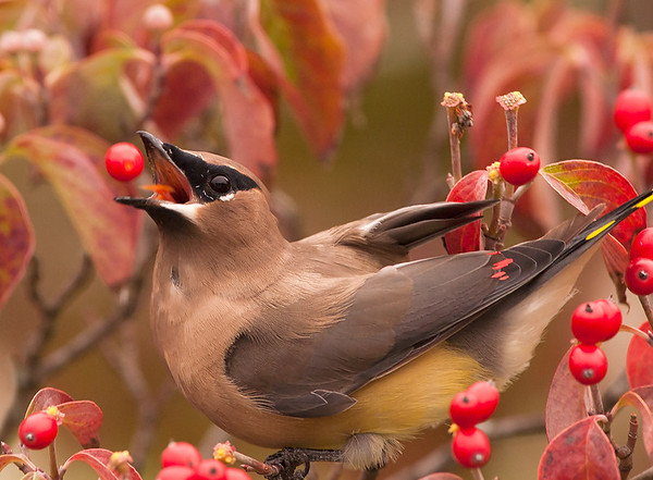 Cedar Waxwing, Wood County