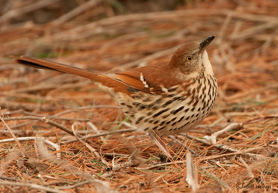Brown Thrasher, Wood County