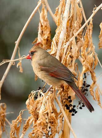 Northern Cardinal at Pokeweed, Wood County