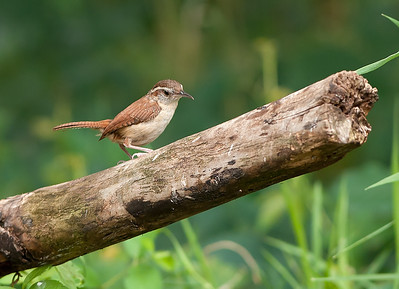 Carolina Wren, Wood County